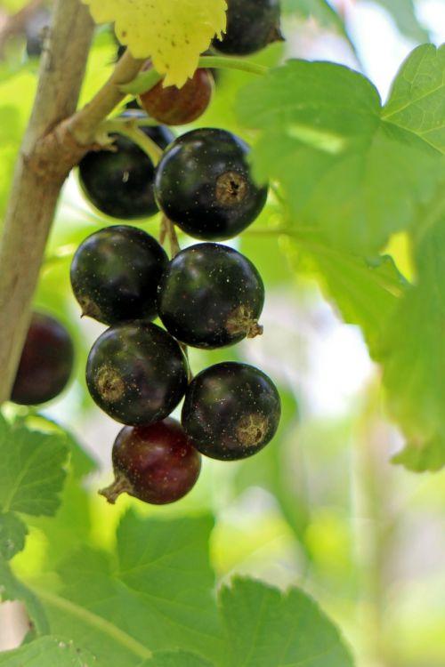 black currant ribes nigrum fruit