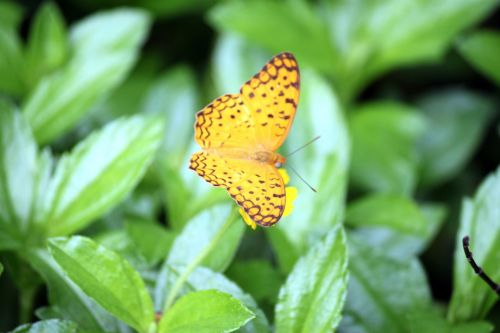 Black Dotted Yellow Butterfly