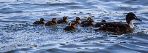 black duck  ducklings  swimming