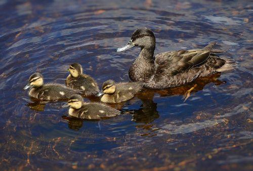 black ducks ducklings nature