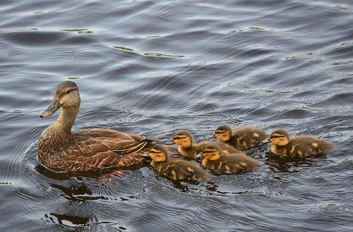 black ducks  ducklings  baby