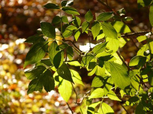 black elderberry elder leaf sambucus nigra