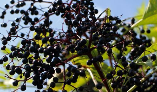 black elderberry sambucus nigra holder bush