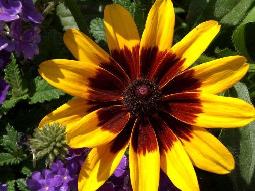 black-eyed susan yellow daisy daisy