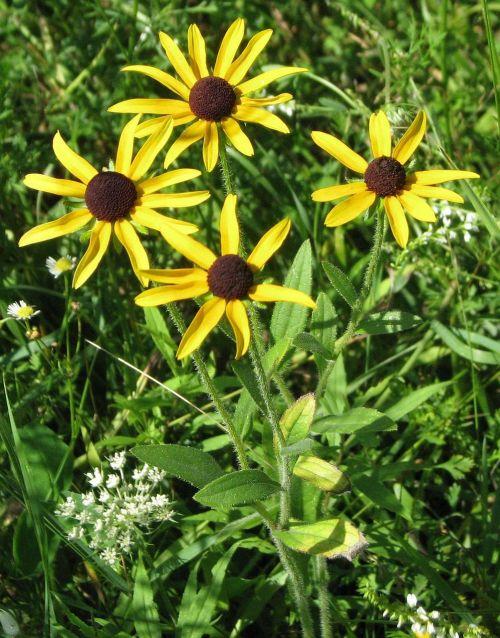 black-eyed susan brown-eyed susan brown betty