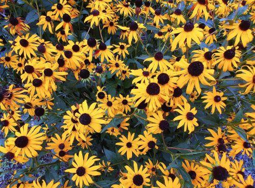 black-eyed-susan rudbeckia hirta flower