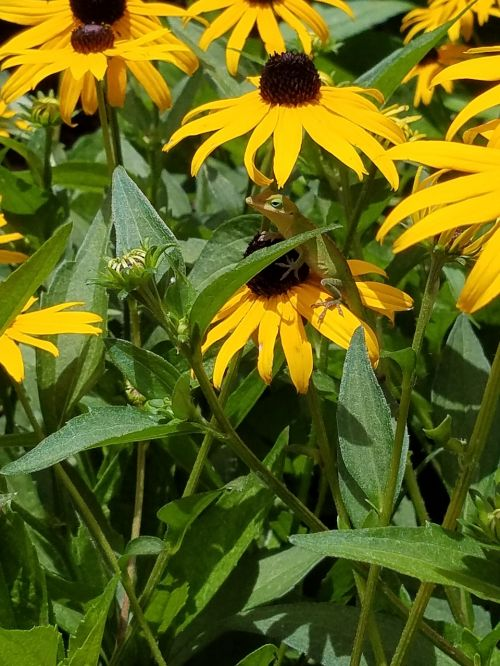 black eyed susan daisy lizard