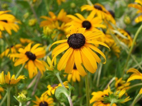 black eyed susan flower yellow