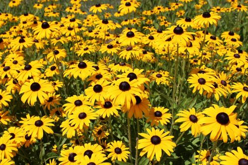 black eyed susan flowers yellow flowers