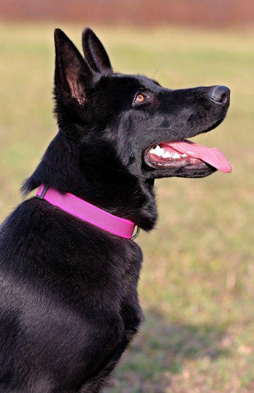 black german shepherd dog pink collar