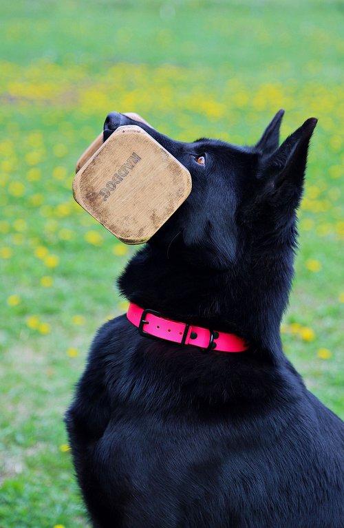 black german shepherd  contribution  keep