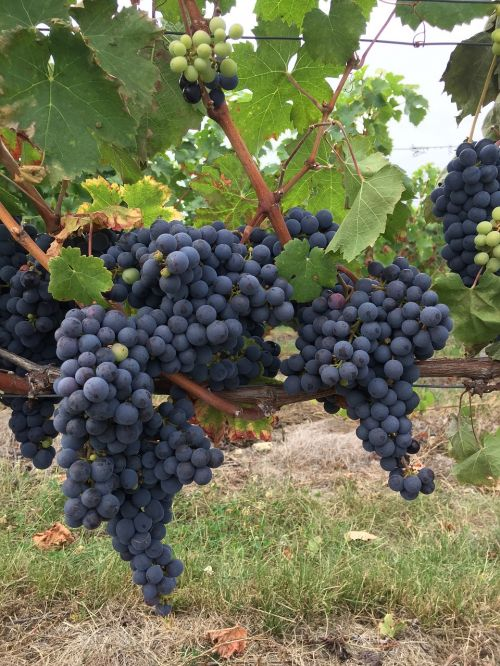 black grape vine touraine