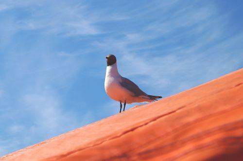 black headed gull seagull