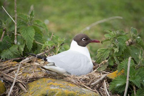 black-headed gull nesting bird