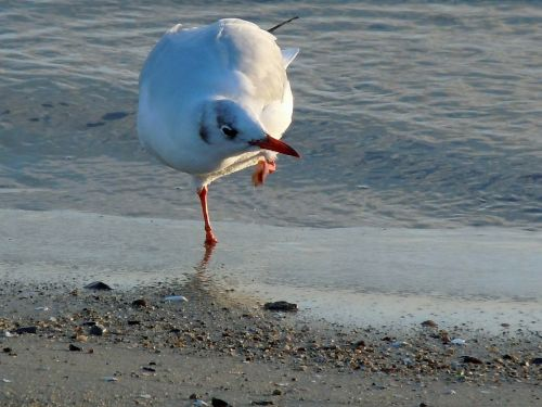 black headed gull seagull dressing up
