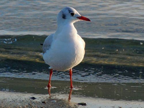 black headed gull seagull close
