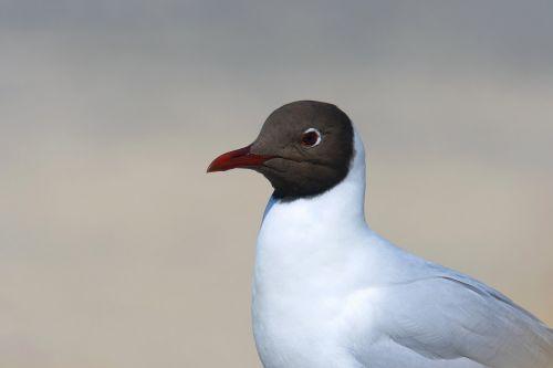 black headed gull portrait seagull