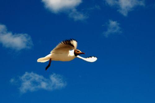 black-headed gull gull himmel