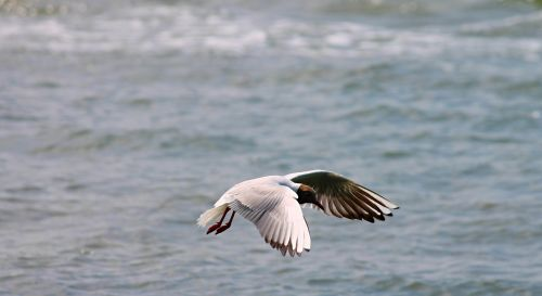 black headed gull seagull flight