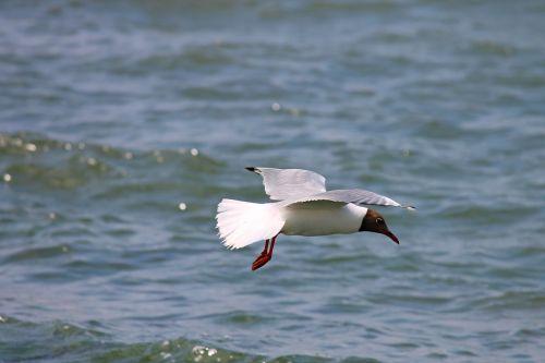 black headed gull seagull flight