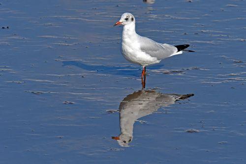 black headed gull watts seagull