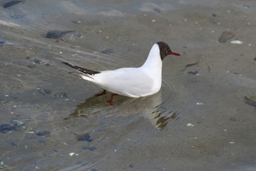 black headed gull chroicocephalus ridibundus birds