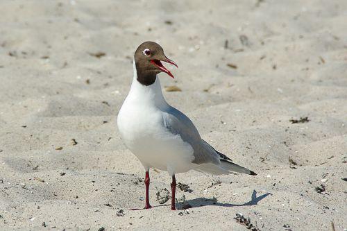 black headed gull larus ridibundus water bird