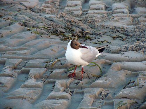 black headed gull seagull bird