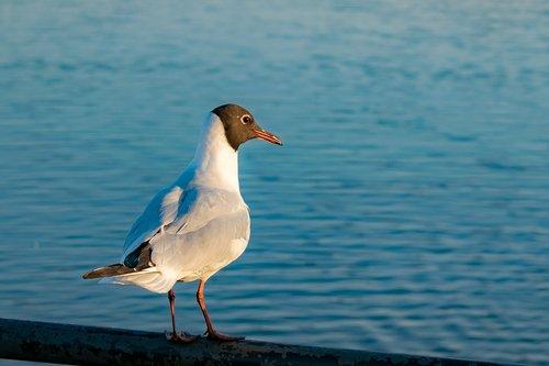 black-headed gull  sea gull  lake