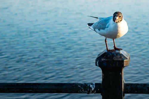 black headed gull  sea gull  bird