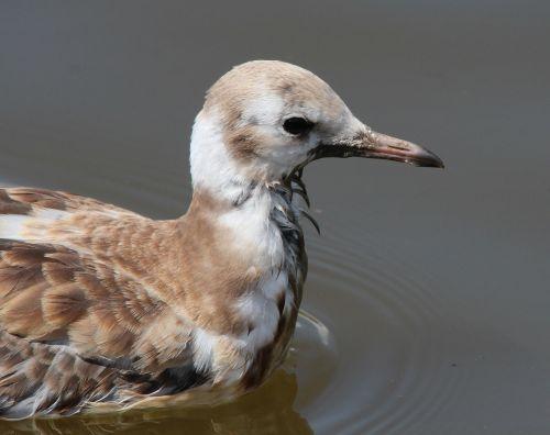 black headed gull seagull chroicocephalus ridibundus