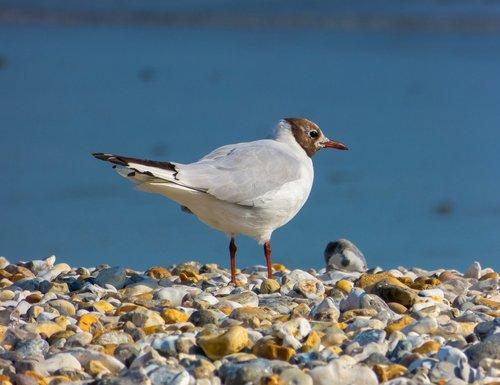 black-headed gull  bird  seabird