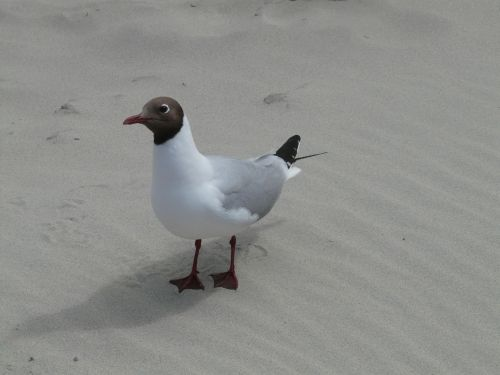 black headed gull seagull bird