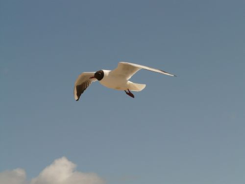 black headed gull fly flight