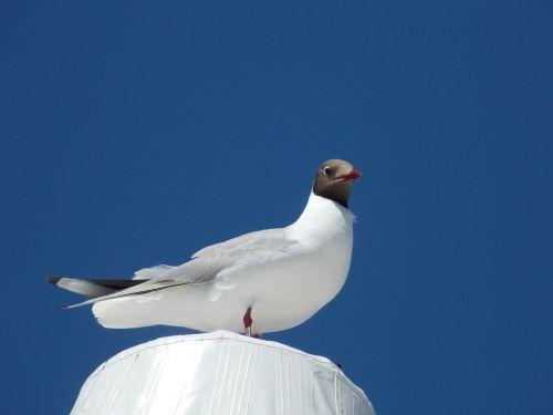 black headed gull species creature