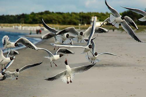 black headed gulls larus ridibundus waterfowl