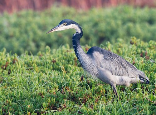black-headed heron  bird  crane