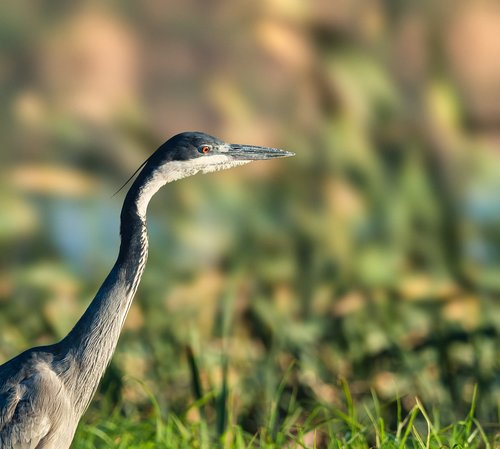 black-headed heron  heron  bird