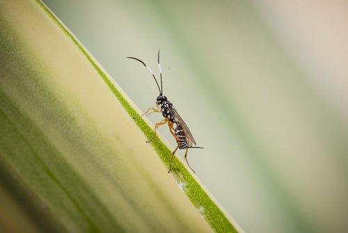 black hornet  hornet  insect