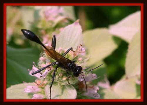 Black Hornet On White Flower