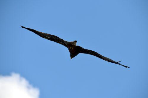 black kite flying predator