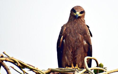 black kite  bird  raptor