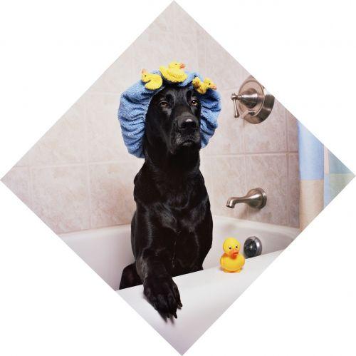 black lab labrador dog