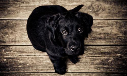 žavinga, gyvūnas, kūdikis, juoda, veislė, mielas, šuo, labradoras, mažai, žiūri, naminis gyvūnėlis, portretas, šuniukas, šuniukas, retriveris, jaunas, juodas labradoro šuniukas
