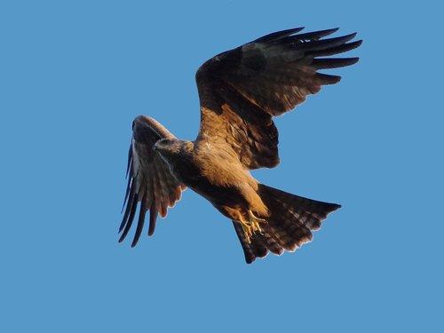 black milan  bird of prey  milan