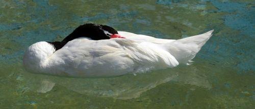 black-necked swan bird sleep