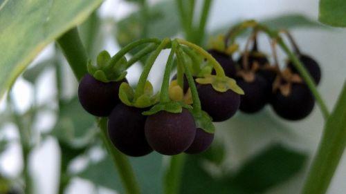 black nightshade fruit seoul