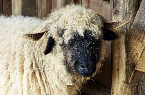 black nosed sheep sheep valais black nose sheep