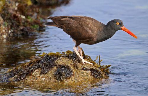 black oystercatcher wildlife nature