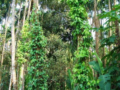 black pepper piper nigrum climber